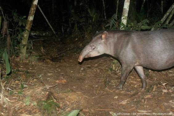 Mommy-Tapir