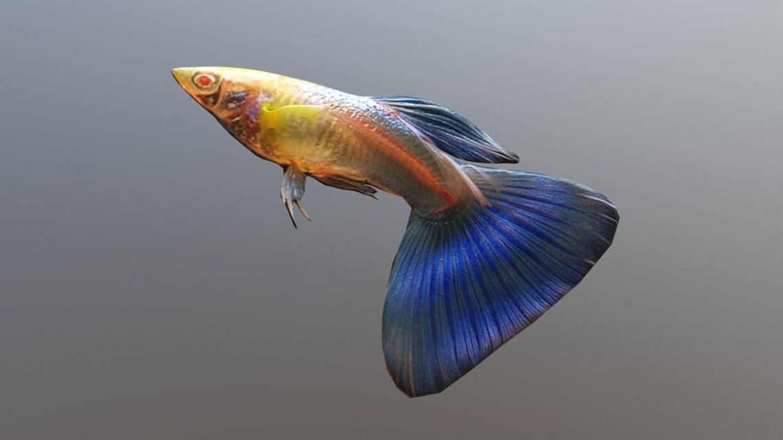 lepistes_guppy_akvaryum_aquarium