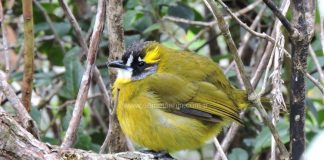 yellow_eared_bird