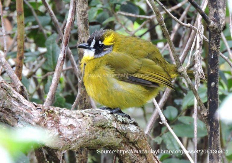 yellow_eared_bird